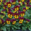 Viola cornuta Butterfly Burgundy Yellow Face