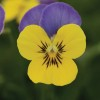 Viola cornuta Butterfly Blue Yellow