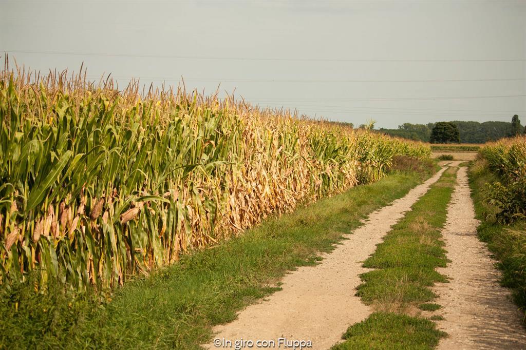 Route du vin - campi di grano
