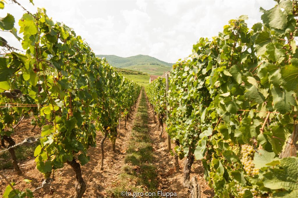 Route du vin - vigneti