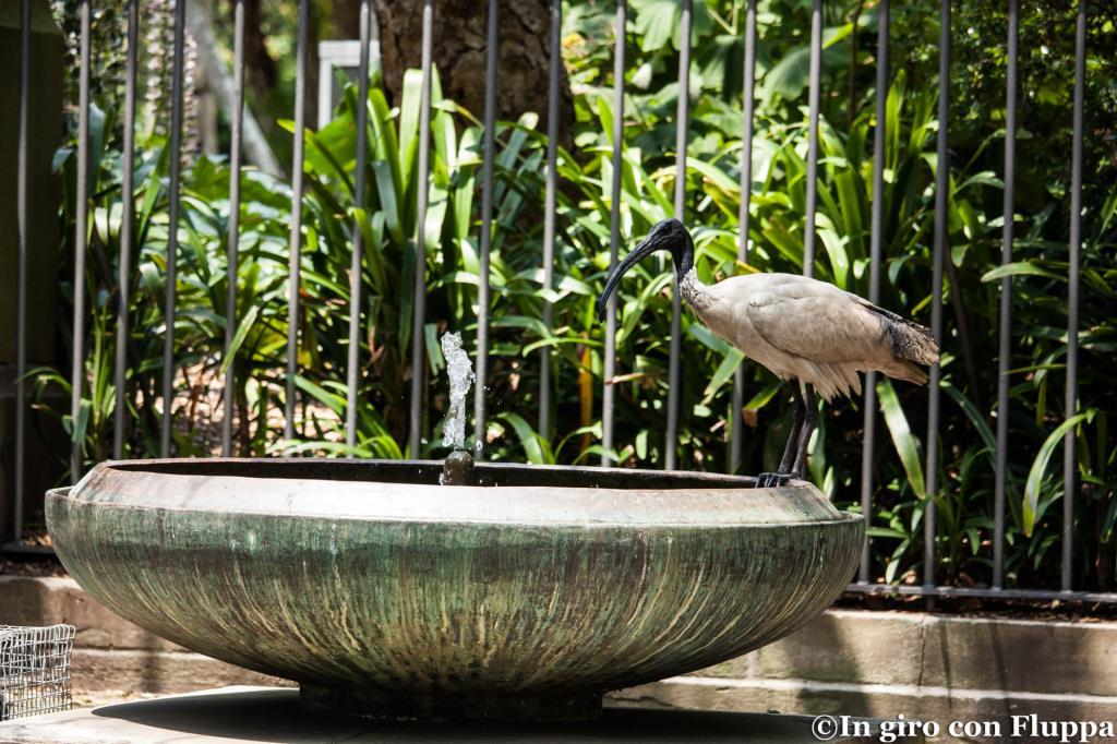 Ibis australiano nei Royal Botanic Gardens