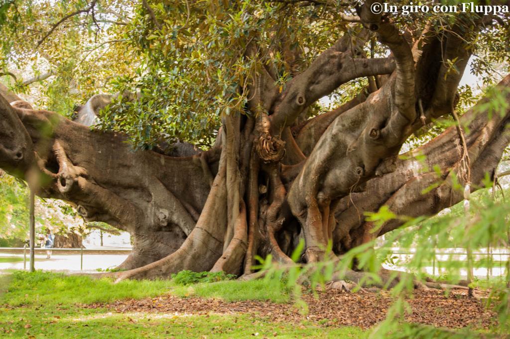 Royal Botanic Gardens, albero a piu' tronchi