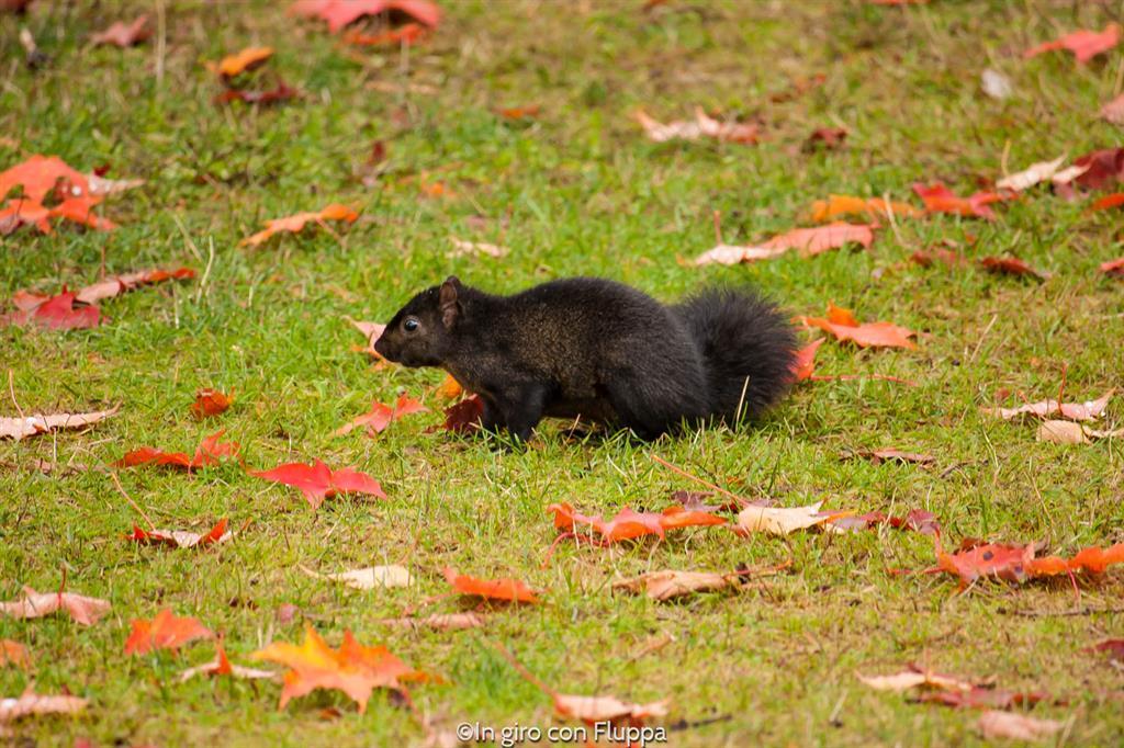 Stanley Park - scoiattolo nero