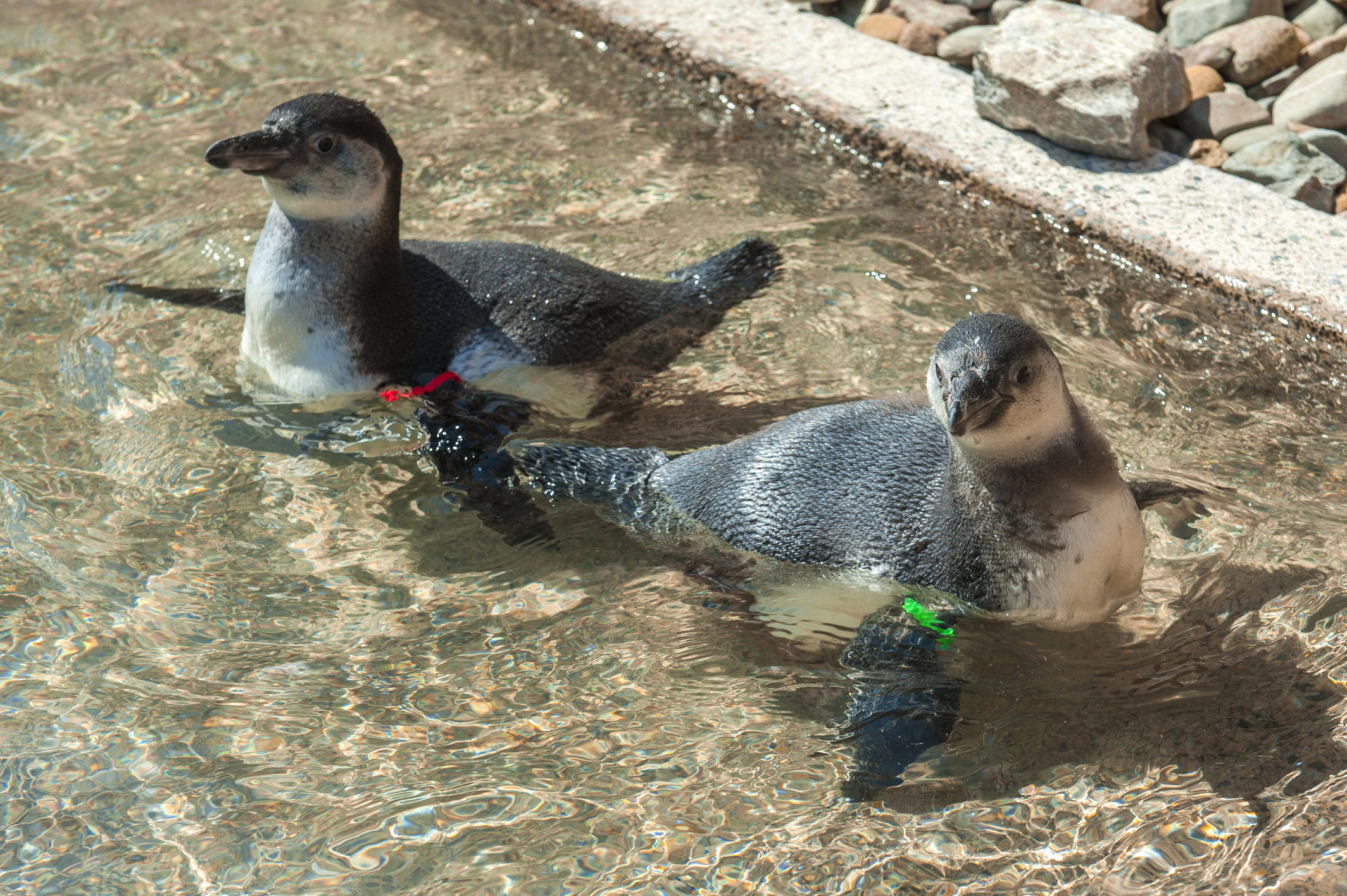 Nursery pool for penguin chicks at Folly Farm