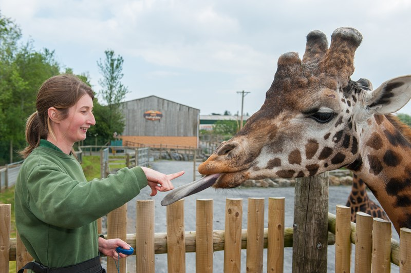 Training a giraffe to stick out its tongue
