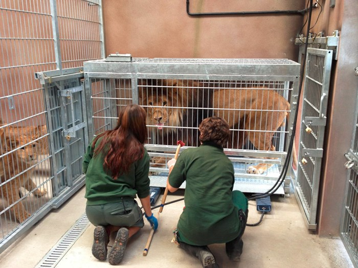 Zoo keepers train a lion to report for blood tests