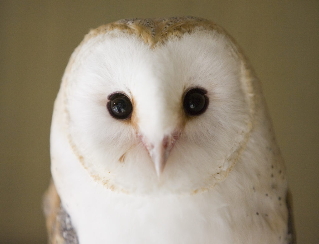 Barn owl at Folly Farm