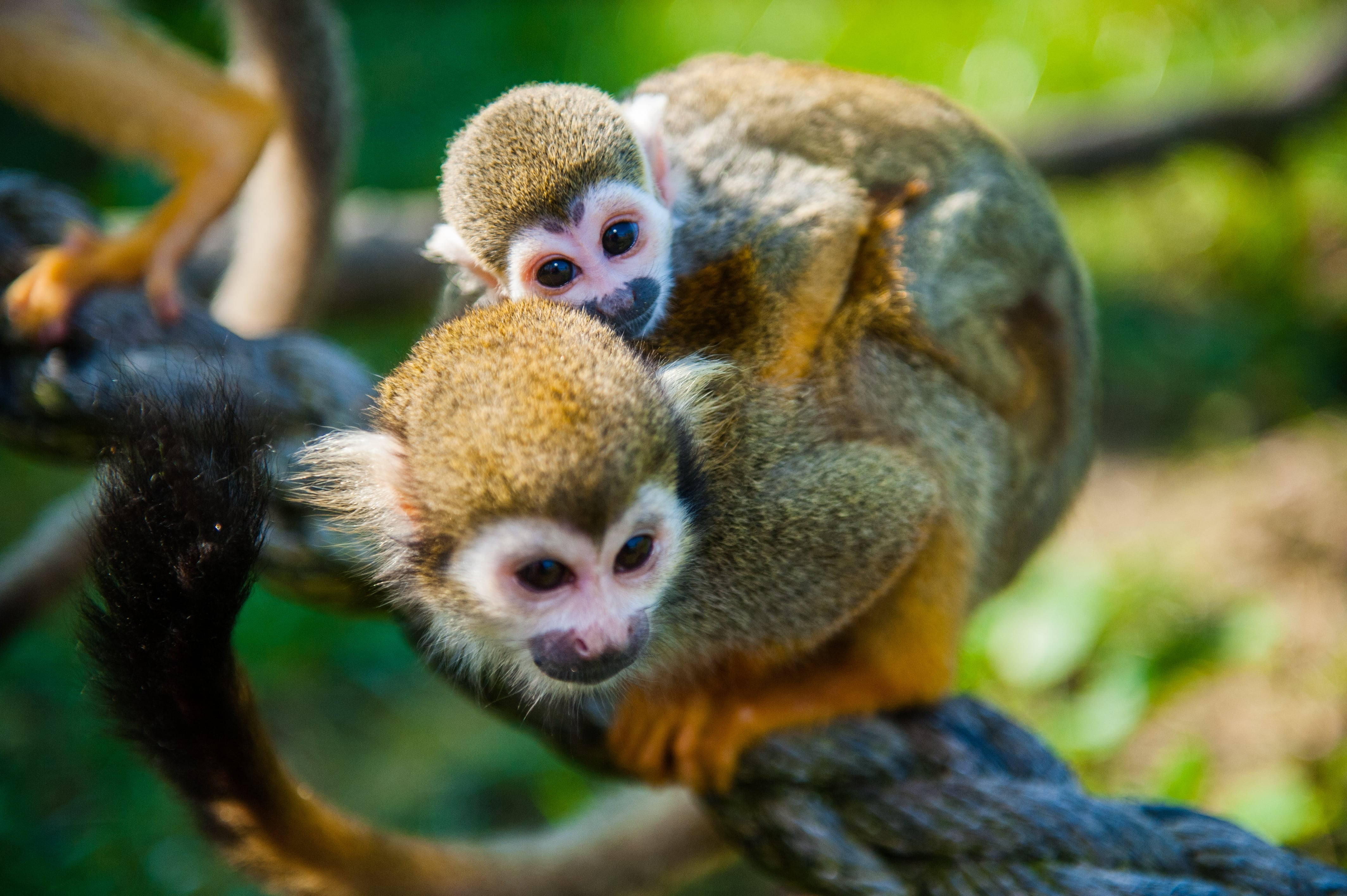squirrel monkey � fun facts amp information for kids folly