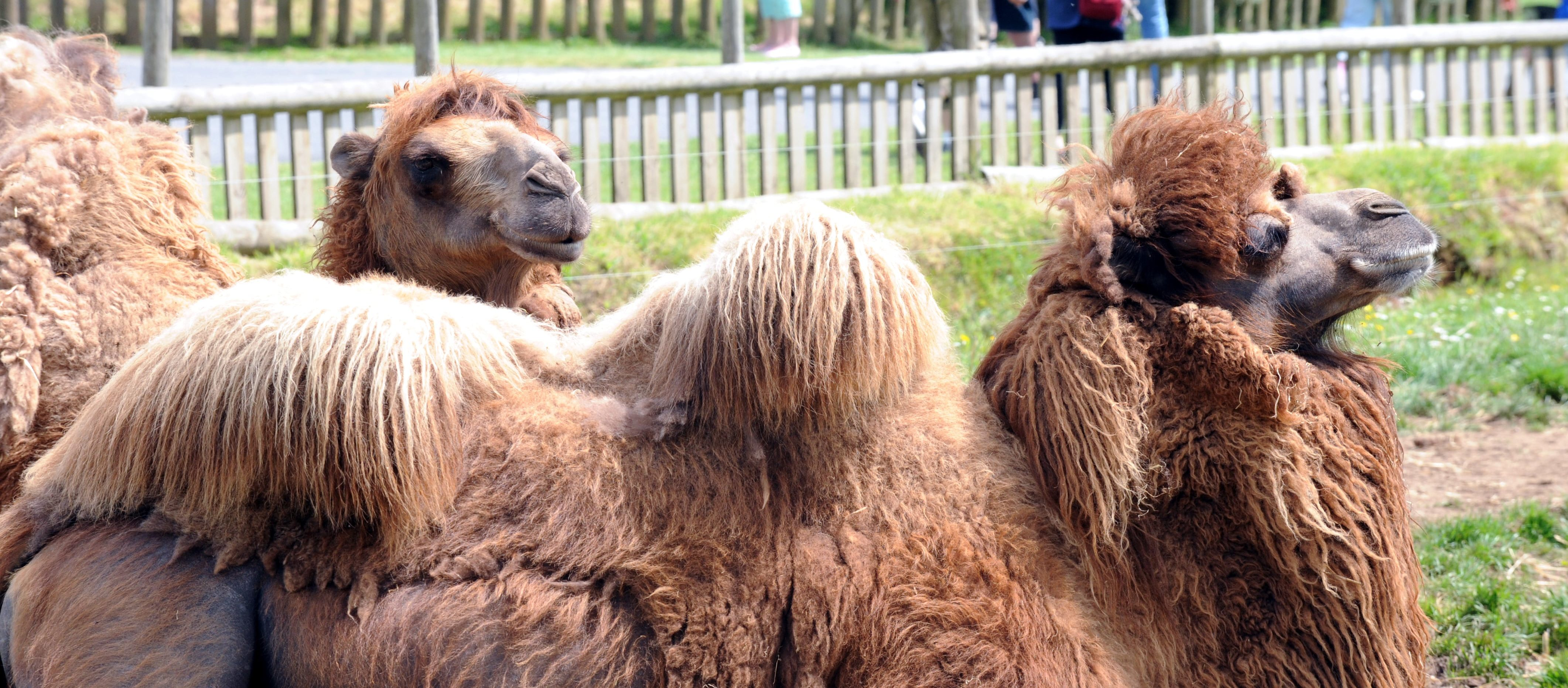 Bactrian Camel • Fun Facts & Information For Kids