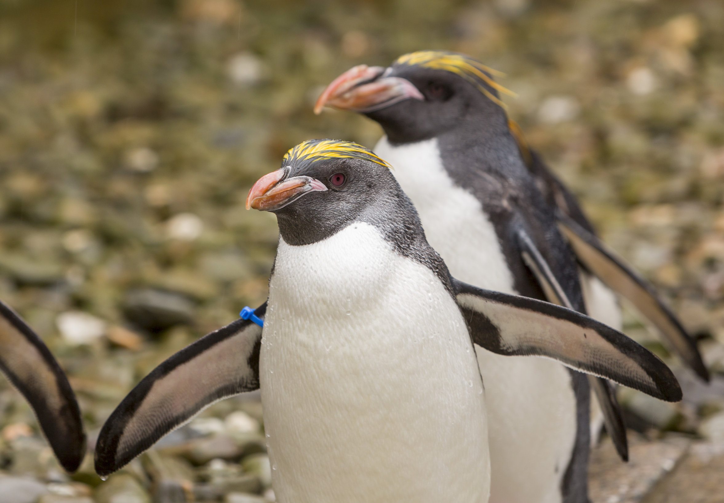 Folly Farm's macaroni penguins
