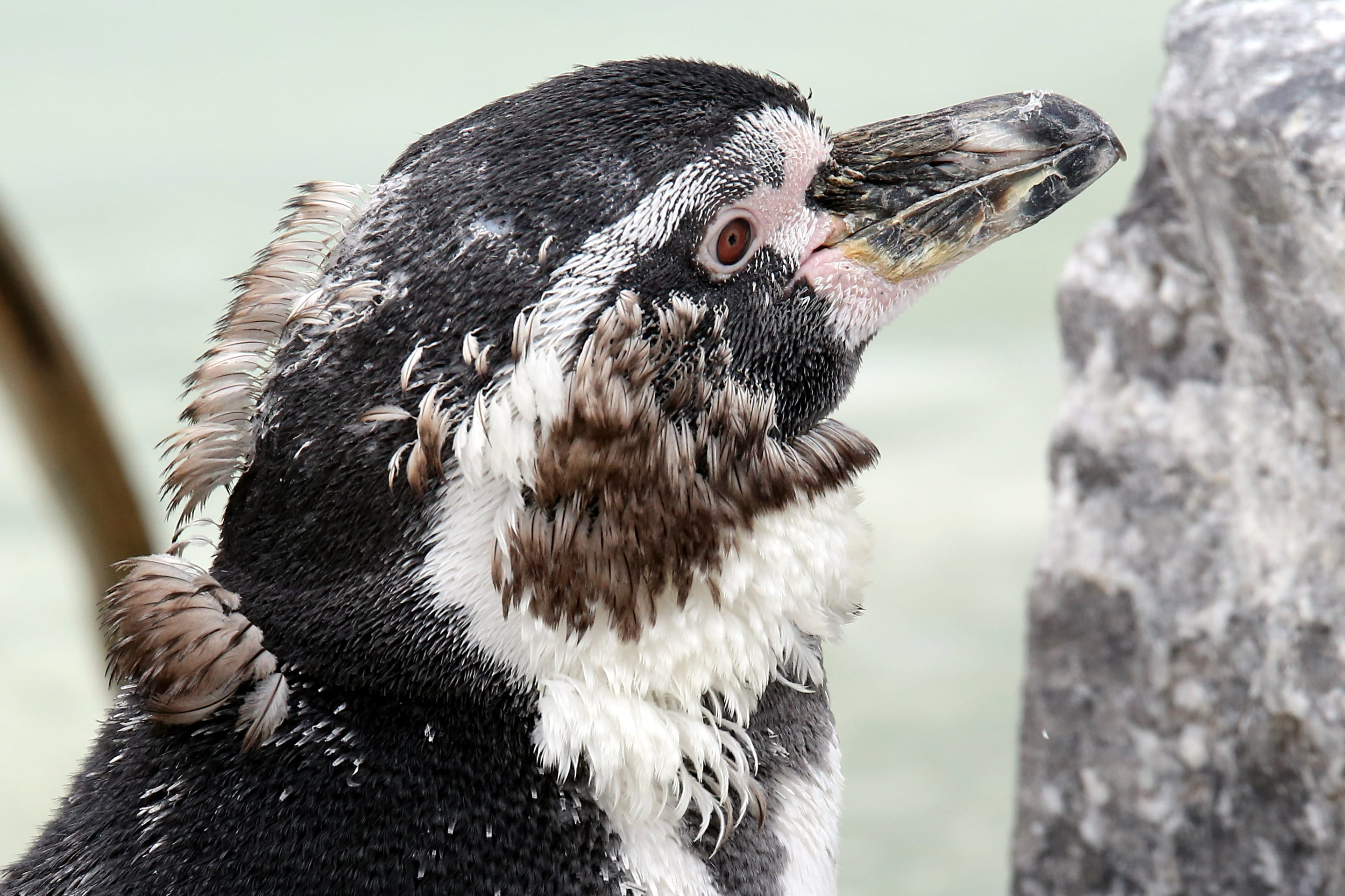 moulting penguin at folly farm