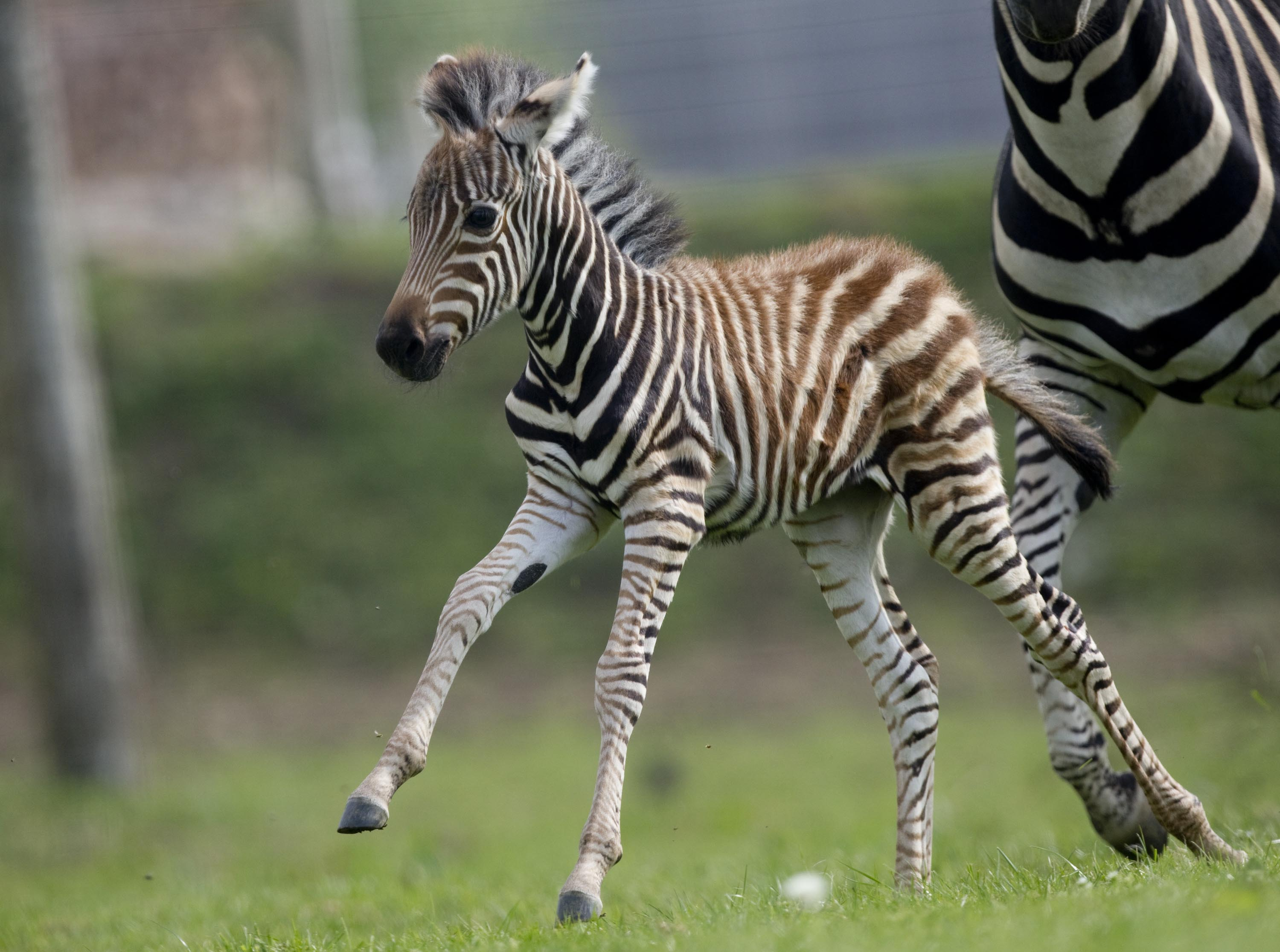Chapman's Zebra • Fun Facts and Information For Kids