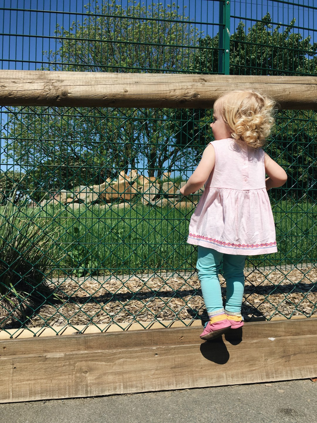 Girl watching lions at Folly Farm