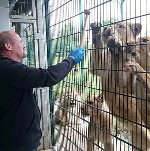 Man feeding a lion on a lion feeding experience at Folly Farm