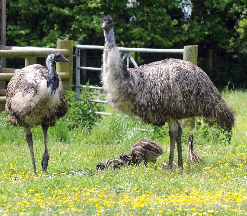 Emu Facts for Kids • Fun Facts About Emus for Children