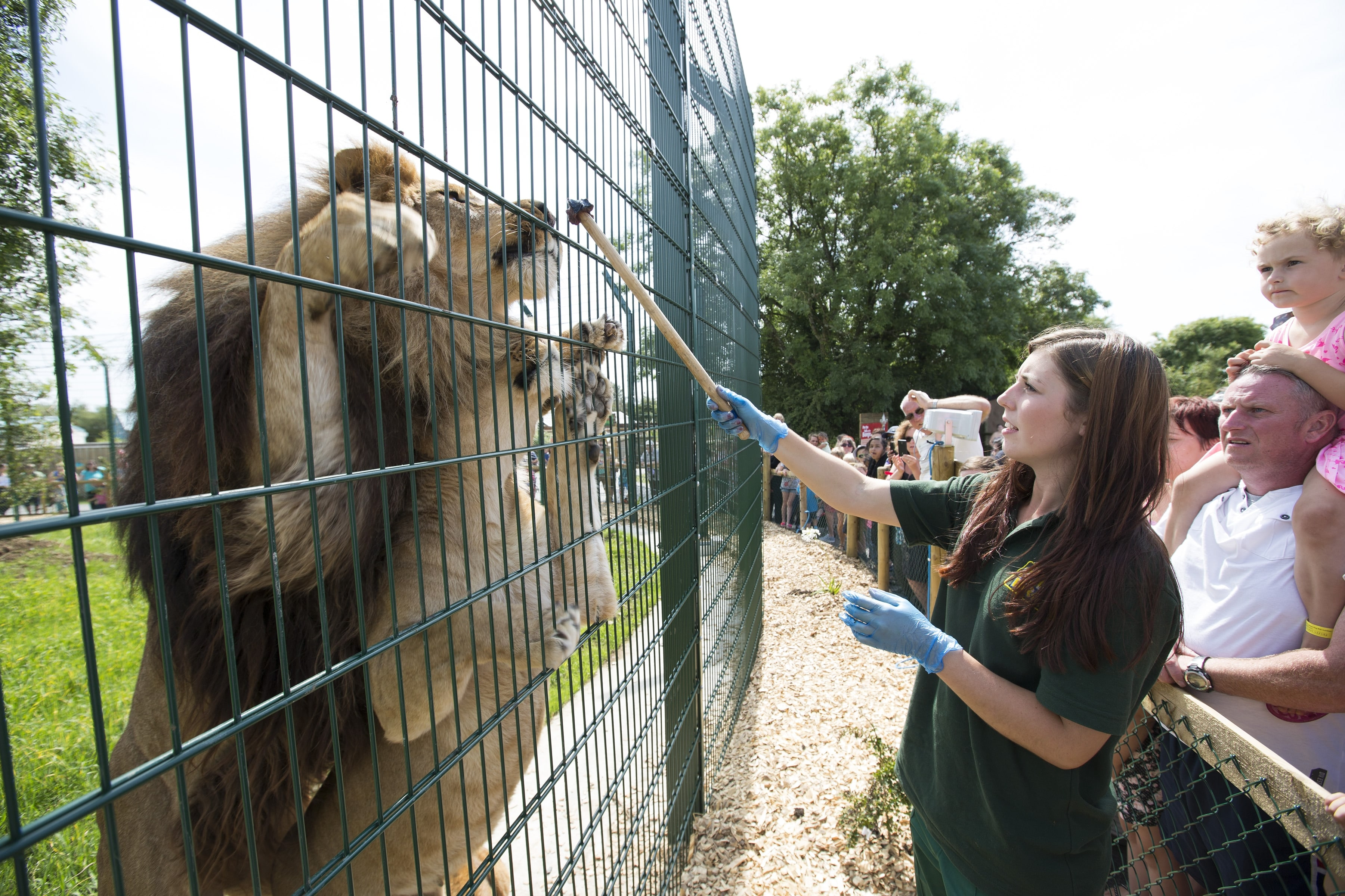 Lion keeper feeding the lions