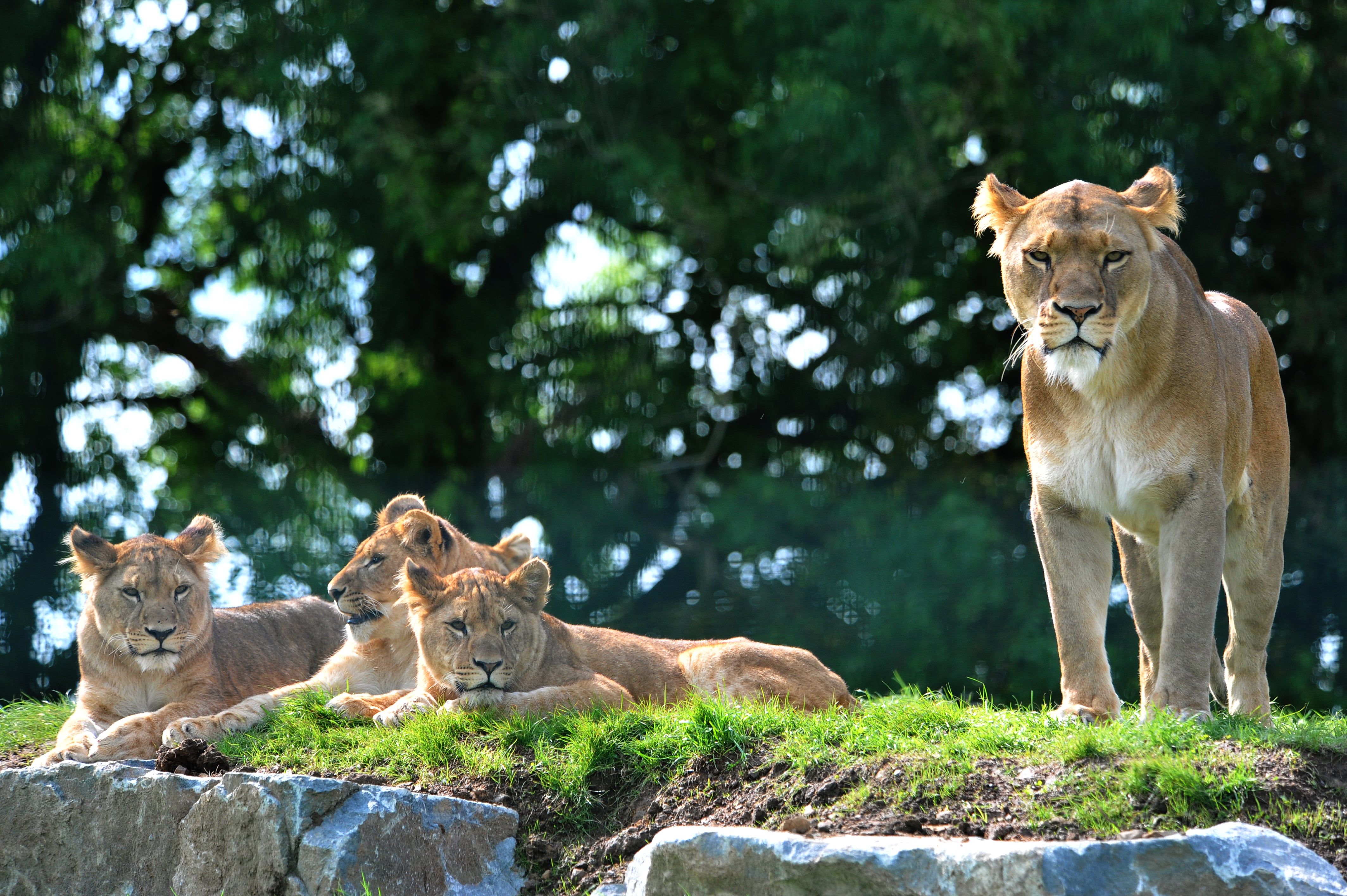 Luna the lion and three cubs