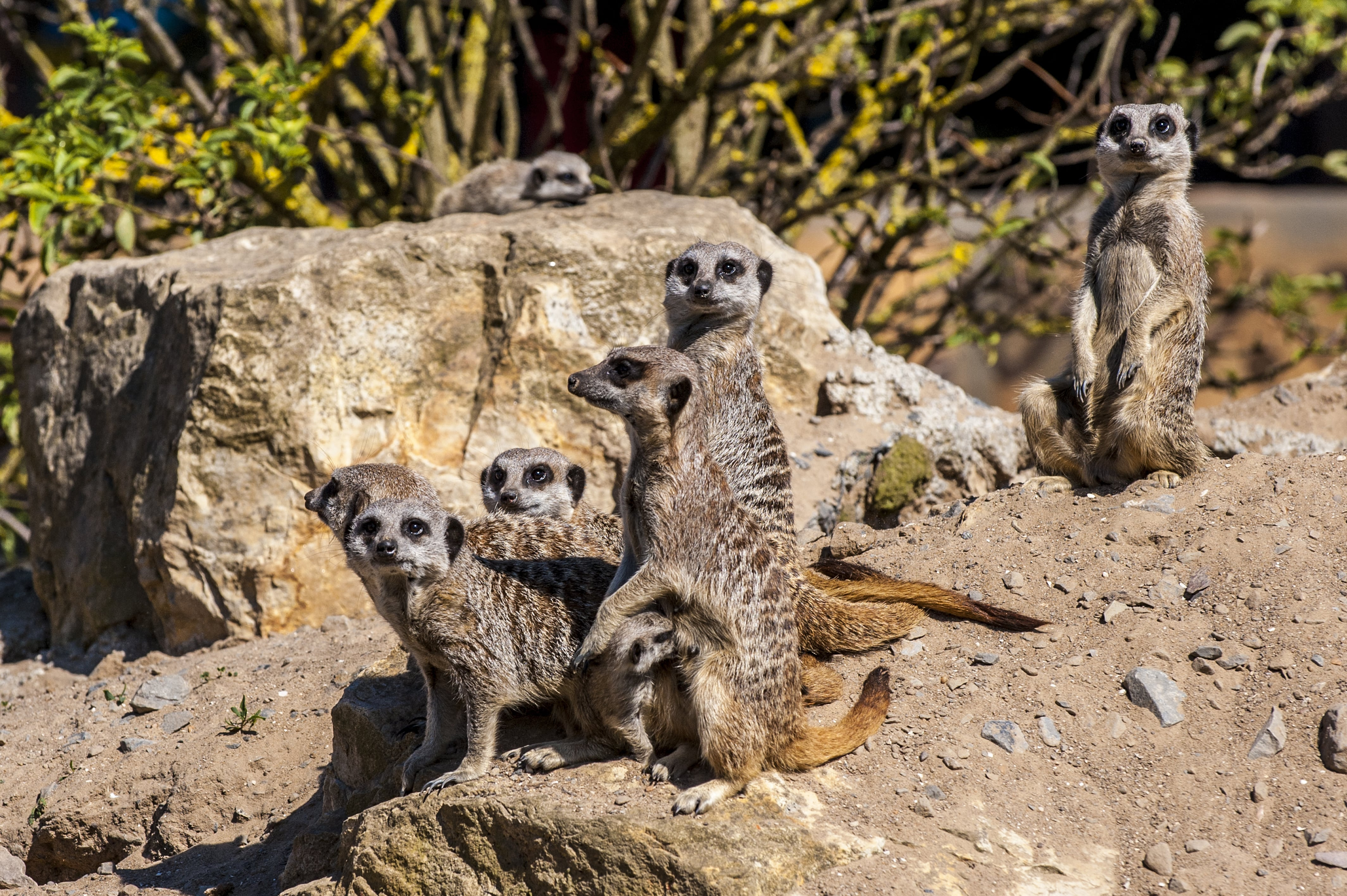 Slender Tailed Meerkat • Fun Facts and Information For Kids