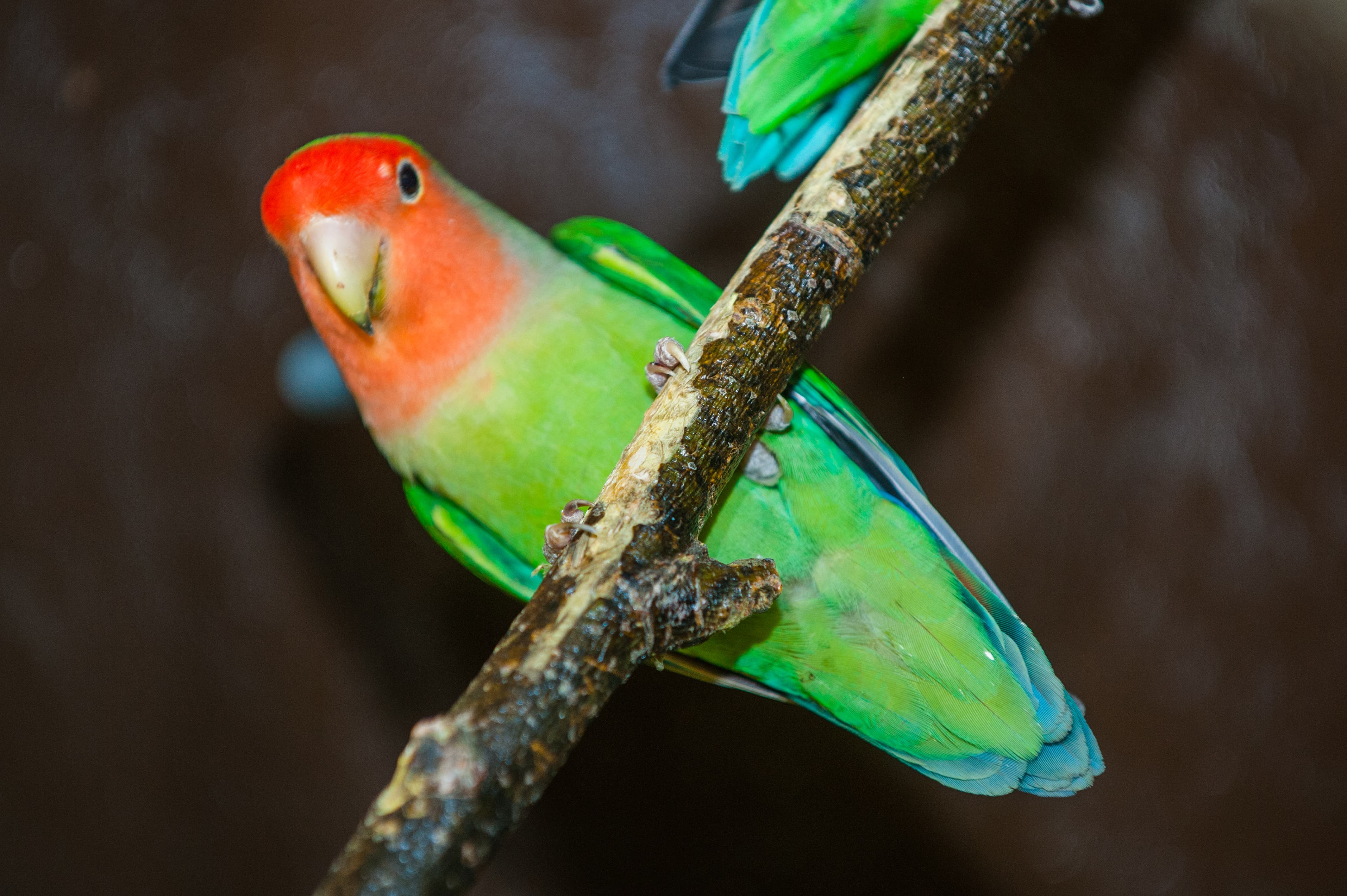 Peach Faced Lovebird Fun Facts And Information For Kids