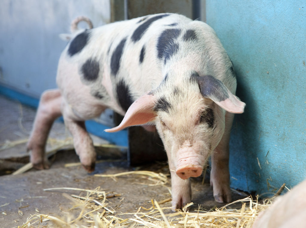 Image of a spotted pig at Folly Farm
