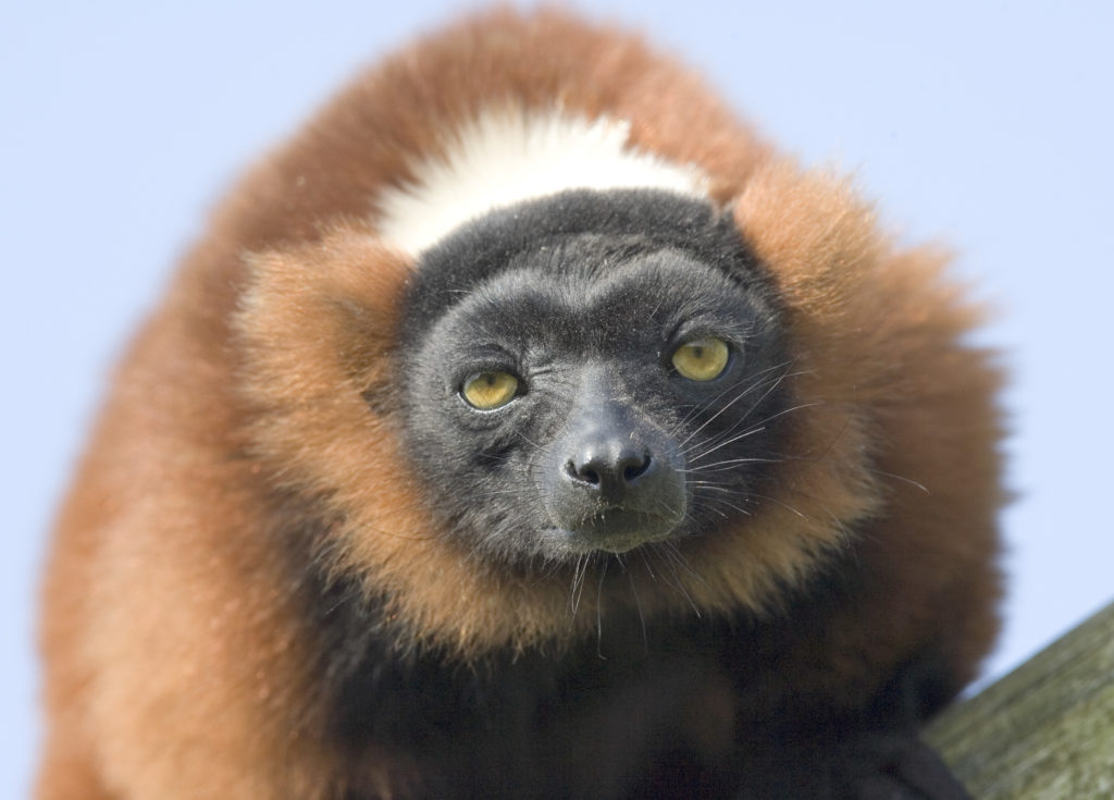 A image of a red ruffed lemur