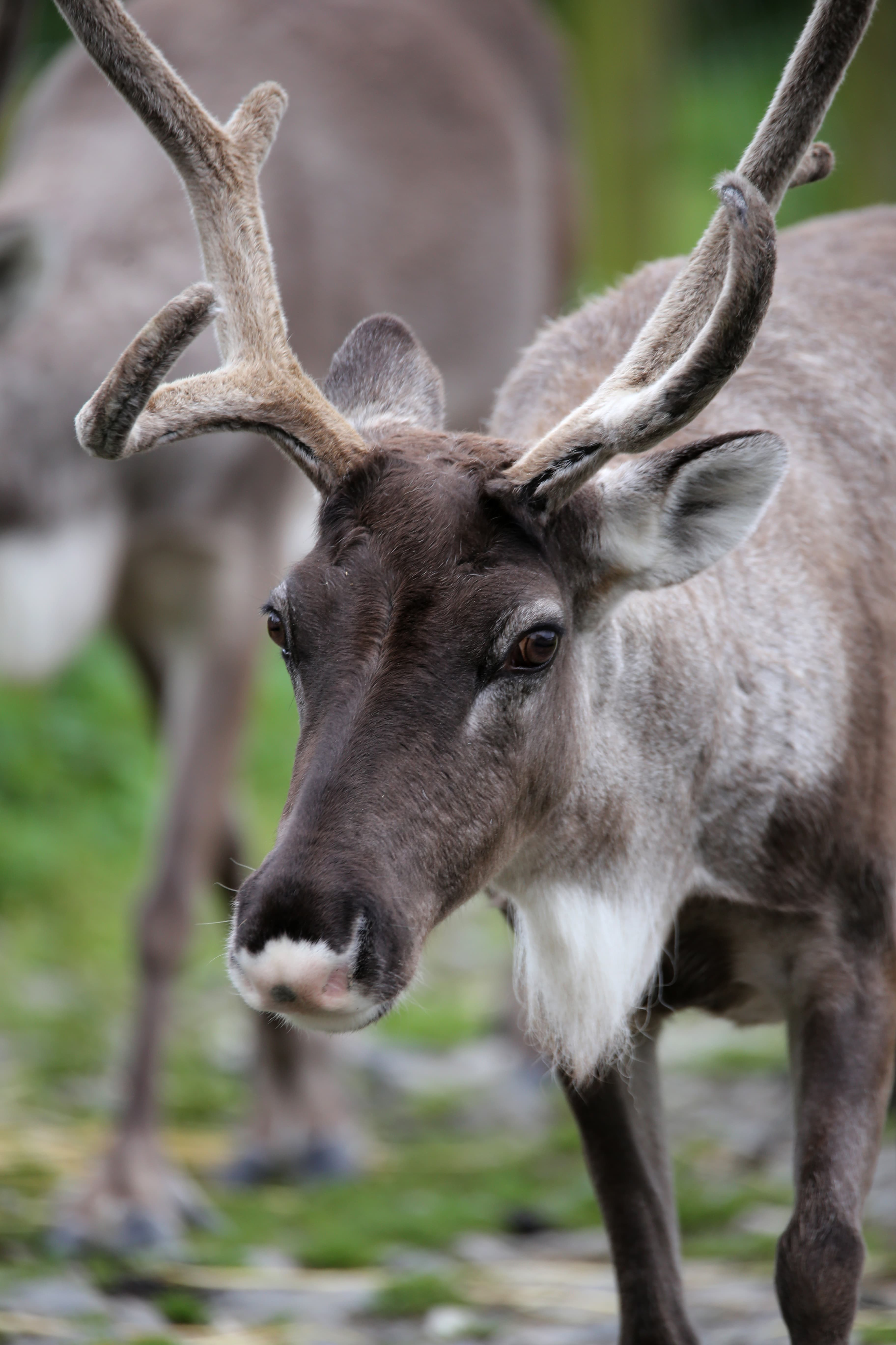 Reindeer Fun Facts Information For Kids Folly Farm