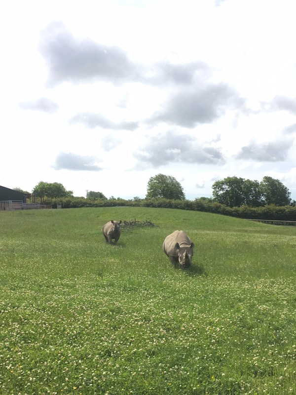 rhinos at folly farm in the grass