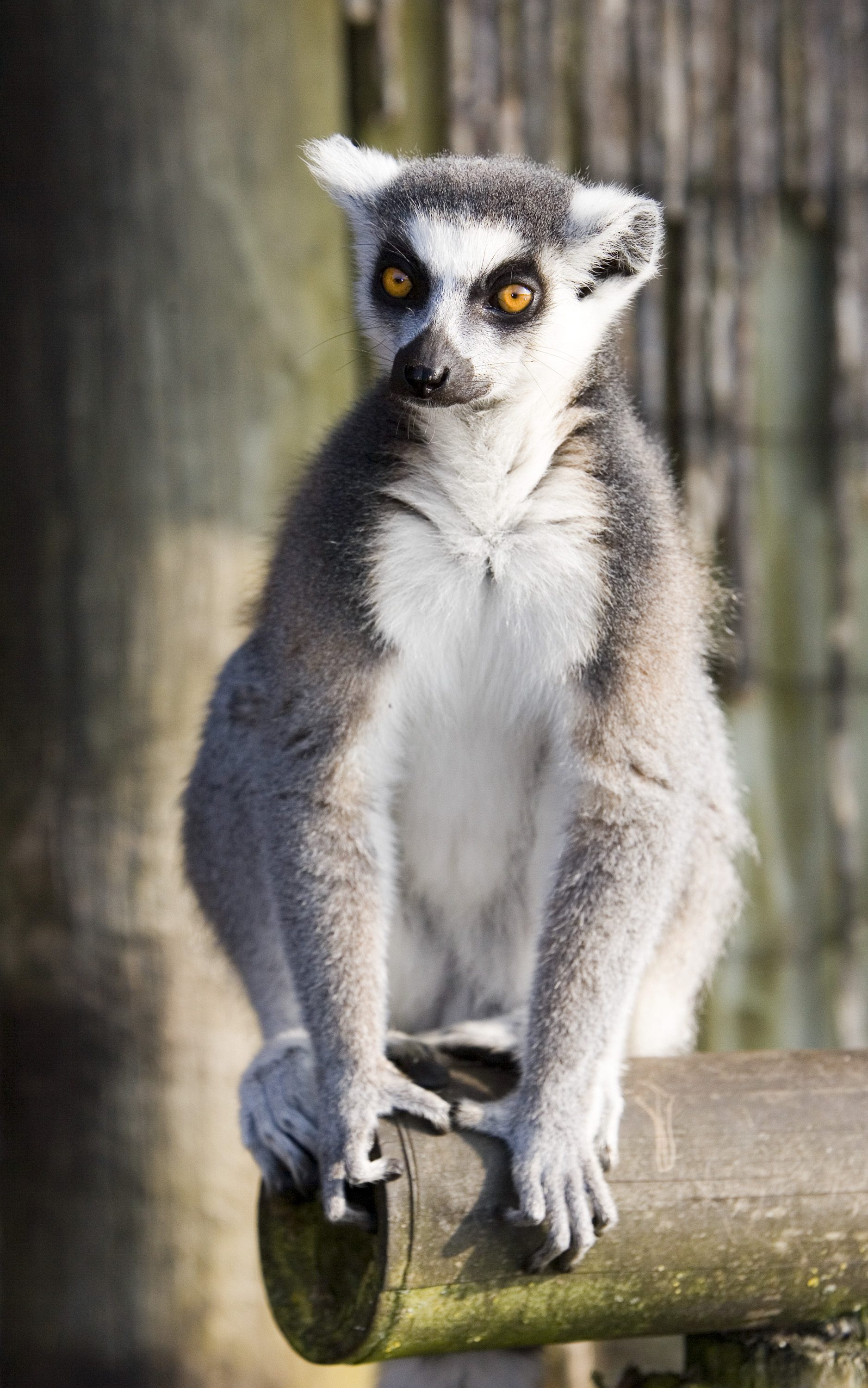 Ring Tailed Lemur • Fun Facts and Information For Kids