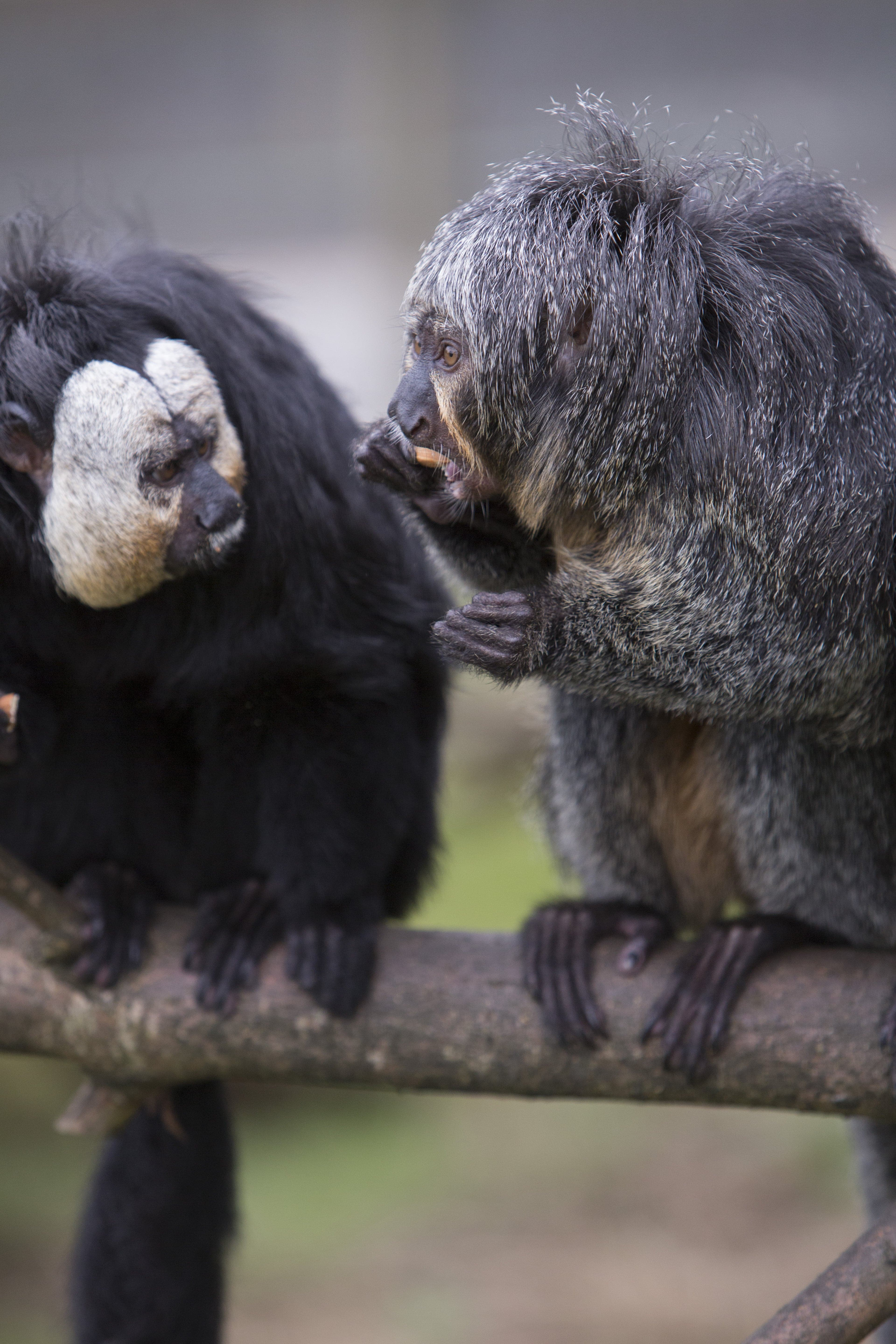 White Faced Saki Fun Facts And Information For Kids