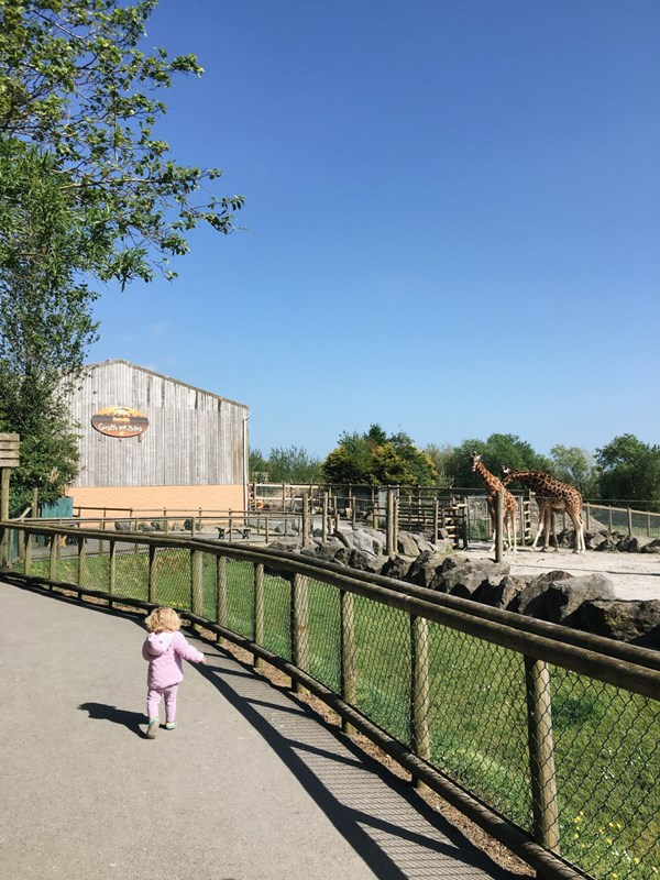Little Miss Tiggy and giraffes
