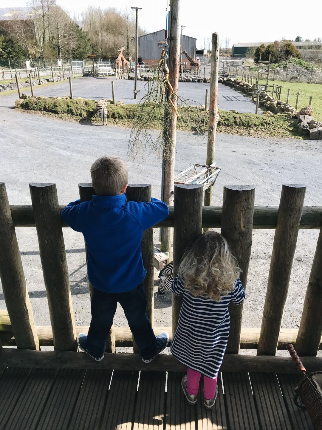 Children watching giraffes