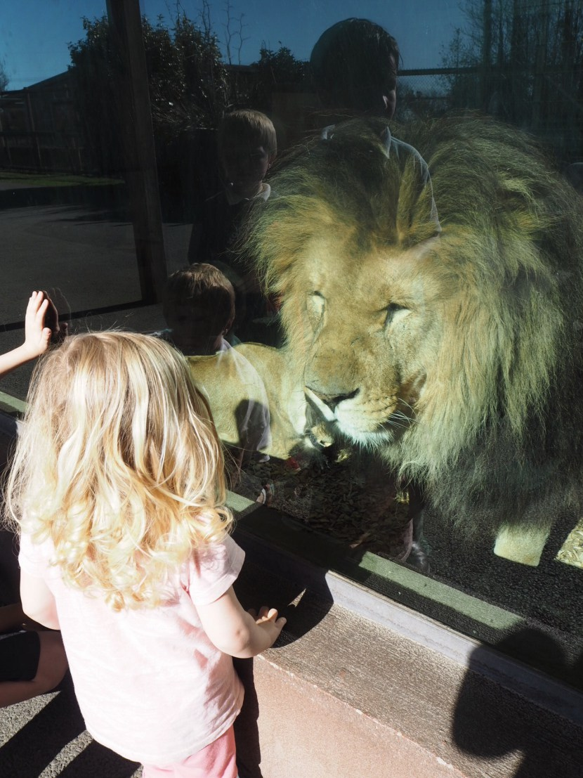 Girl face to face with a lion at Folly Farm