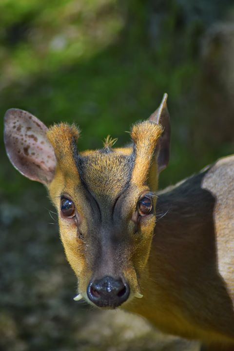 Chinese muntjac deer at Folly Farm