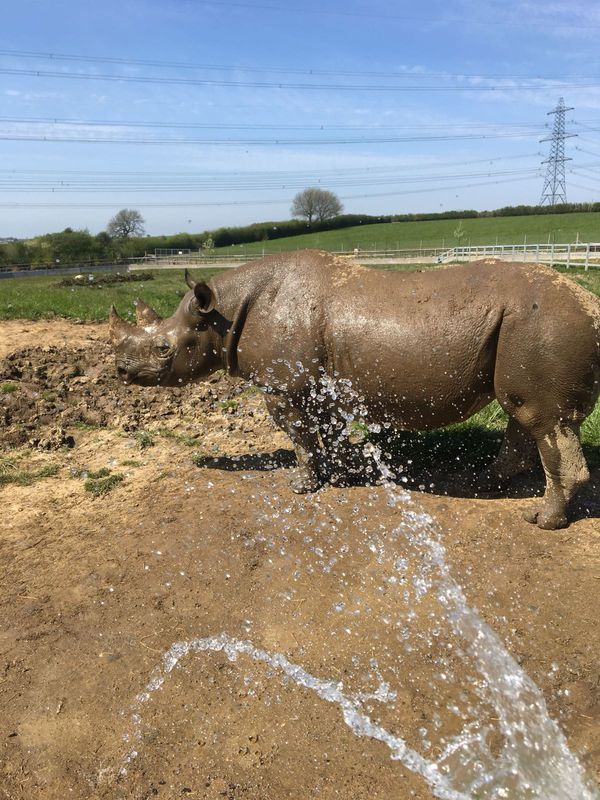 Rhino cooling down with a shower
