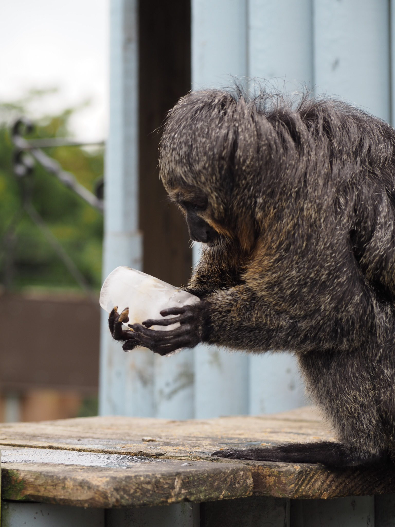 White-faced Saki is treated to a frozen nut lolly