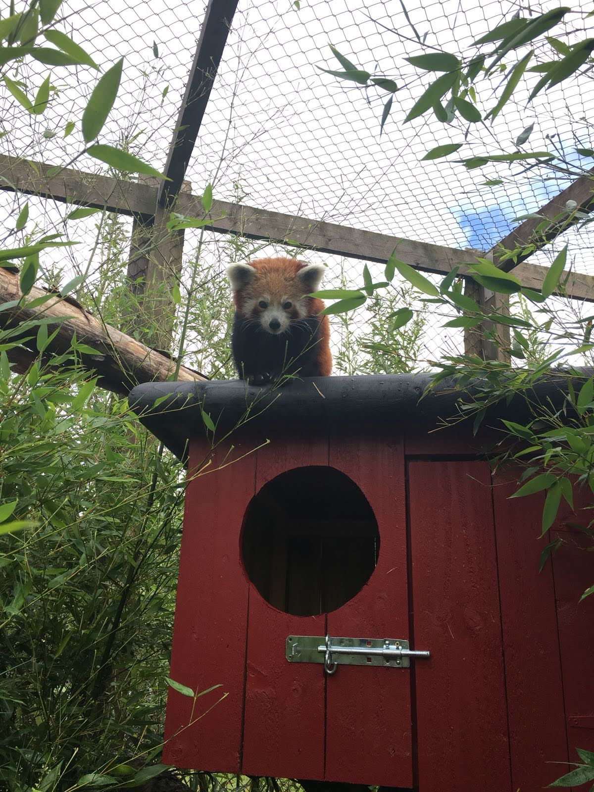 Red panda at Folly Farm