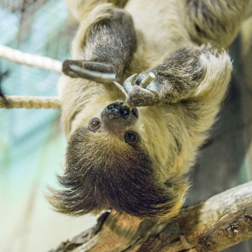 An image of Tuppee, the two toed sloth