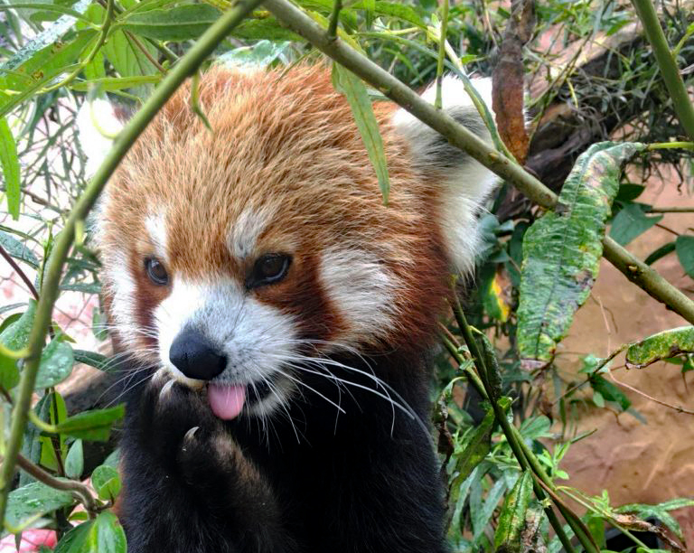 Adopt a red panda at Folly Farm