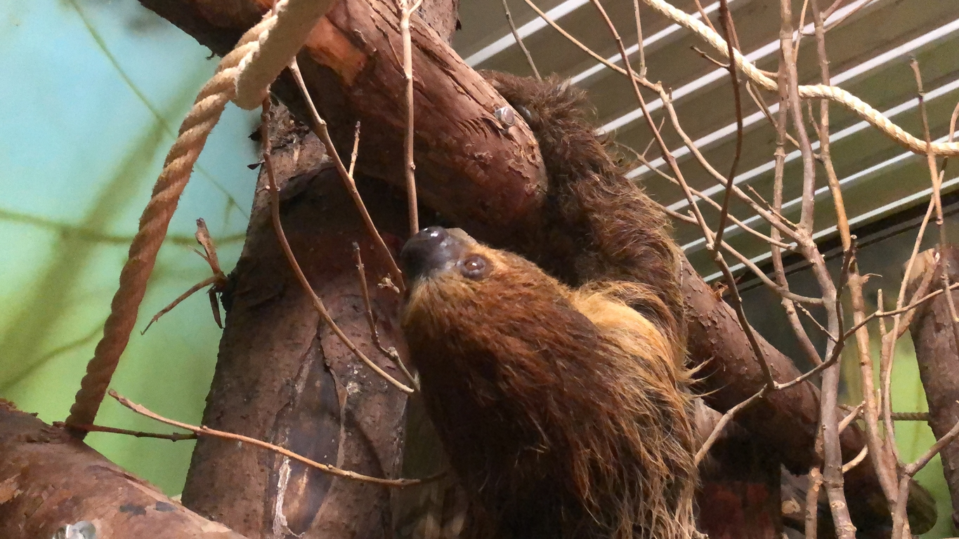 New sloth at Folly Farm