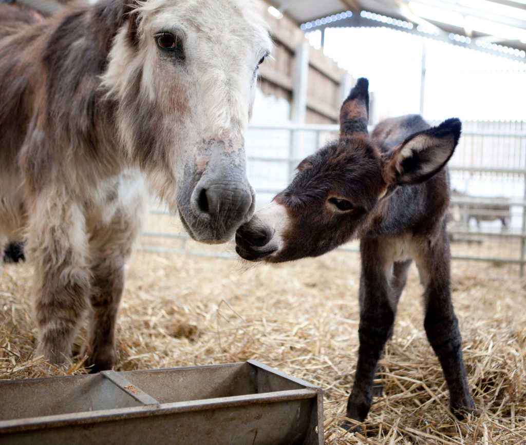 adopt a donkey from Folly Farm