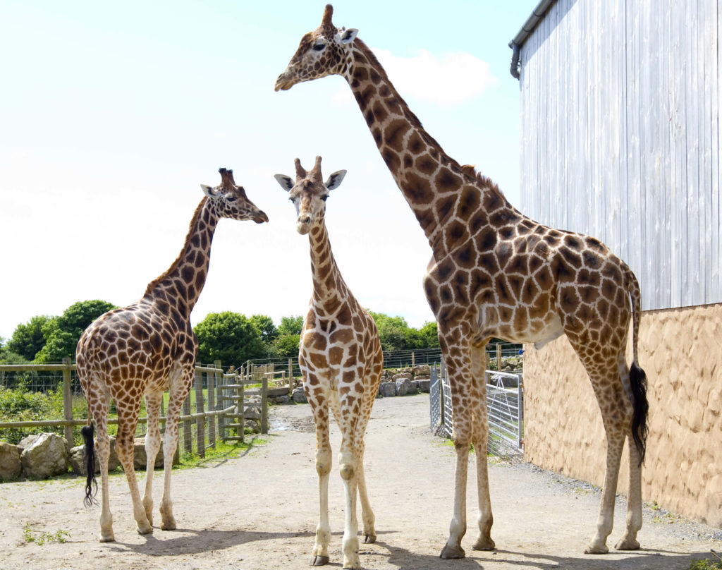 adopt a giraffe at Folly Farm