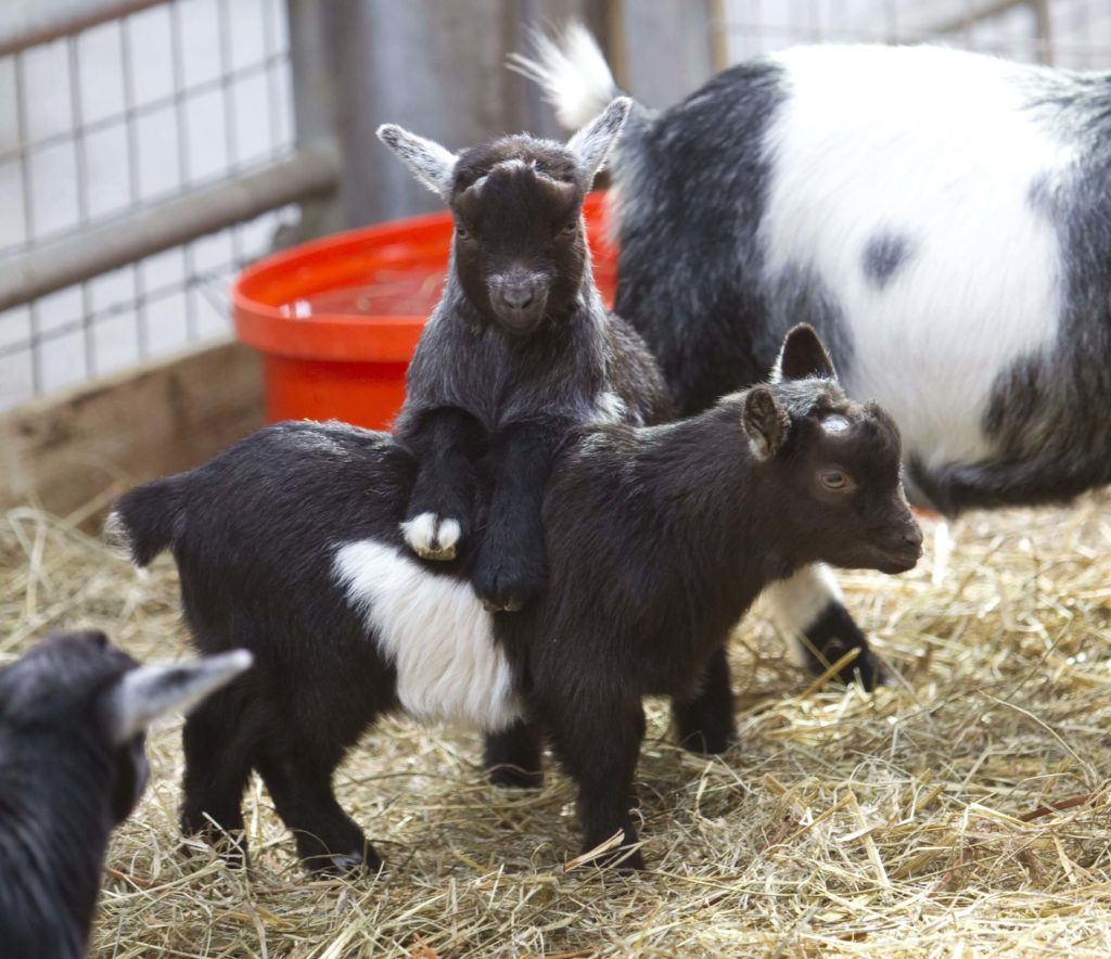 adopt a goat at Folly Farm
