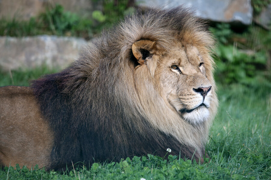 Image of Hugo the lion at Folly Farm
