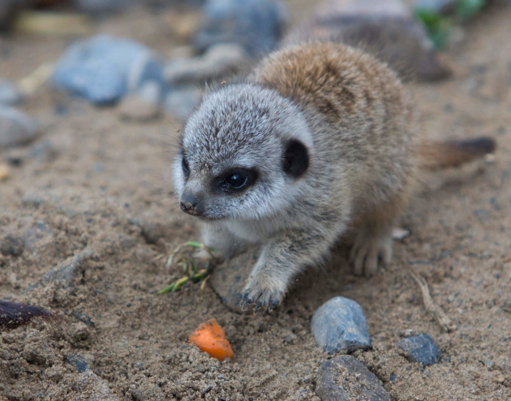 adopt a meerkat from Folly Farm