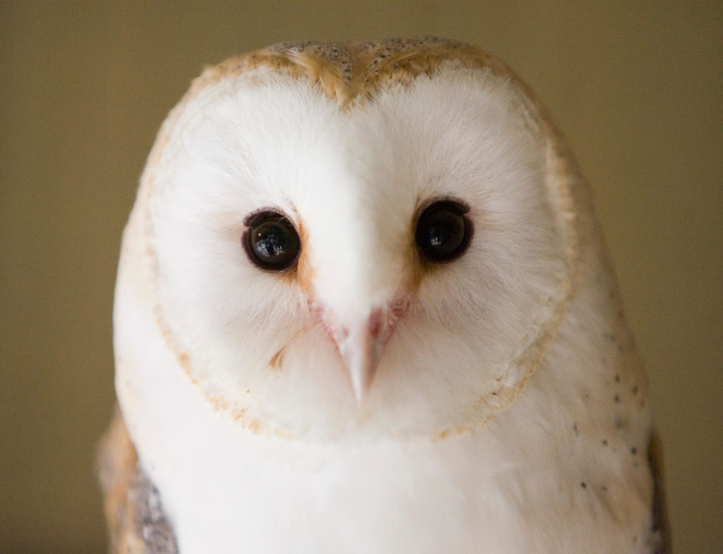 adopt an owl at Folly Farm