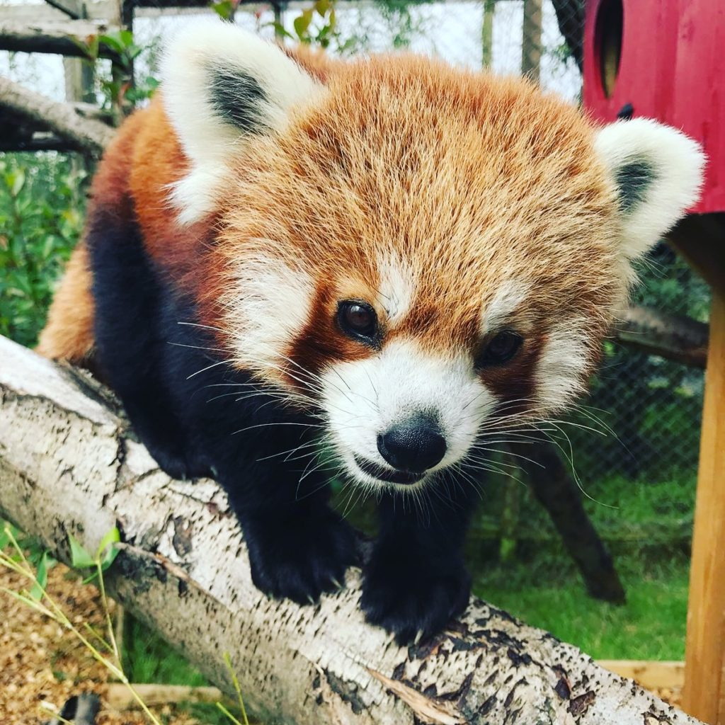 Image showing a red panda's face close up