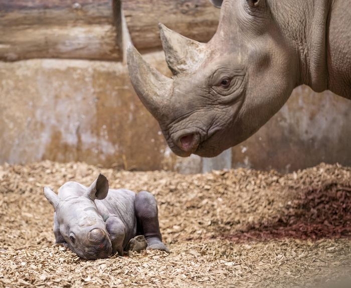 Rhino mum stands over newborn calf