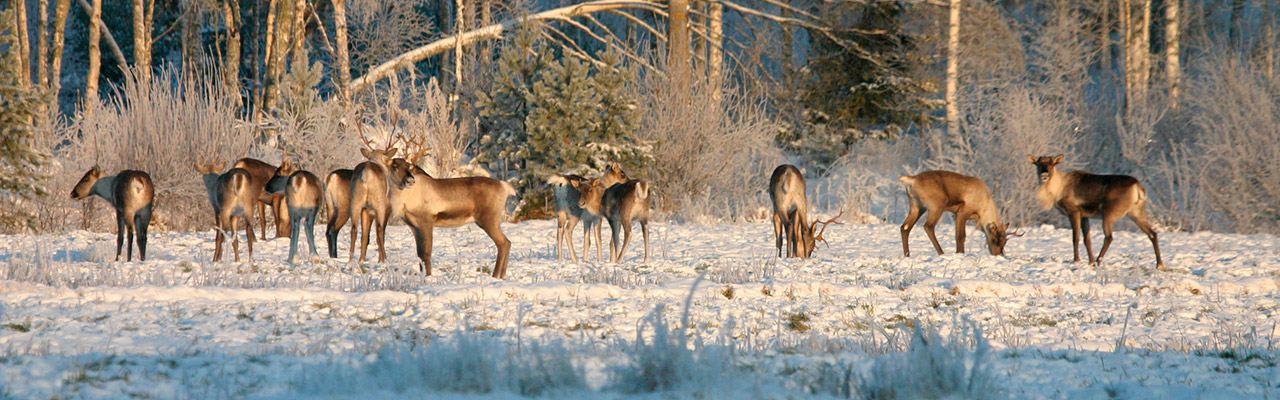 metsäpeurojen luontoonpalautus