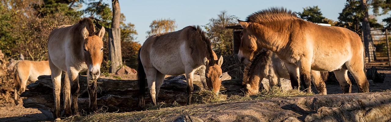 mongolianvillihevonen