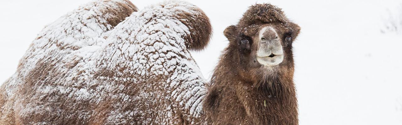 Lumipeitteinen kameli